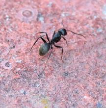 A carpenter ant at Breakneck Hill Conservation Land in Southborough, photographed by Steve Forman.