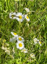 Annual fleabane, photographed by Nathalie Guerin.
