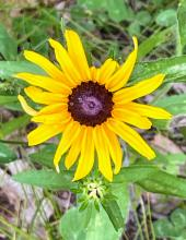 A black-eyed Susan, photographed by Nathalie Guerin.