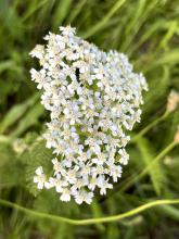 Common yarrow, photographed by Nathalie Guerin.