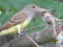 A great crested flycatcher in Stow.