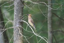 A cedar waxwing in Stow, photographed by Gail Sartori.