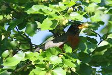 An American robin at Heard Farm in Wayland, photographed by Craig Smith.