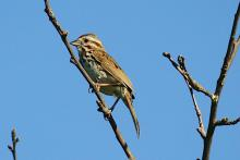 A song sparrow at Heard Farm in Wayland, photographed by Craig Smith.