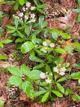 Pipsissewa at SVT's Gray Reservation in Sudbury, photographed by Nathalie Guerin.