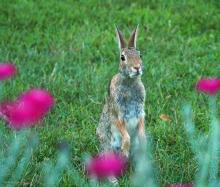 A cotton-tailed rabbit in Northborough, photographed by Sandy Howard.