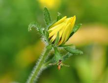 A black-eyed Susan in Northborough, photographed by Sandy Howard.