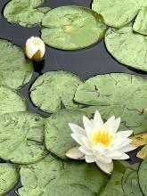 Water lilies at Assabet River National Wildlife Refuge in Sudbury, photographed by Nathalie Guerin.