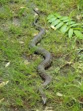 A northern water snake at SVT's Cedar Hill Reservation in Northborough, photographed by Laura Lane.