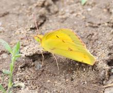 An orange sulphur at Breakneck Hill Conservation Land in Southborough, photographed by Steve Forman.