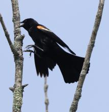 A red-winged blackbird at Breakneck Hill Conservation Land in Southborough, photographed by Steve Forman.