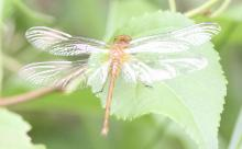 A meadowhawk dragonfly at Breakneck Hill Conservation Land in Southborough, photographed by Steve Forman.