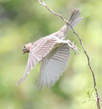 A house finch at Breakneck Hill Conservation Land in Southborough, photographed by Steve Forman.
