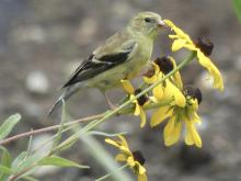 An American goldfinch in Sudbury, photographed by Sharon Tentarelli.