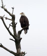 A bald eagle at the Sudbury Reservoir in Southborough, photographed by Steve Forman.