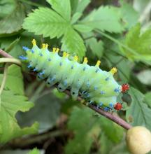 A cecropia moth caterpillar in Framingham, photographed by Eileen Aronson.