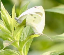 Cabbage whites at Breakneck Hill Conservation Land in Southborough, photographed by Steve Forman.
