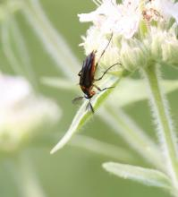 A wedge-shaped beetle at Breakneck Hill Conservation Land in Southborough, photographed by Steve Forman.