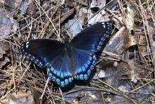 A red-spotted admiral at SVT's Gray Reservation in Sudbury, photographed by Irene Gruenfeld.