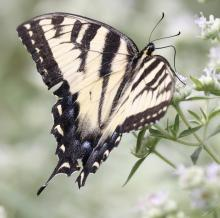 An eastern tiger swallowtail at Breakneck Hill Conservation Land in Southborough, photographed by Steve Forman.