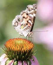An American lady butterfly at Breakneck Hill Conservation Land in Southborough, photographed by Steve Forman.