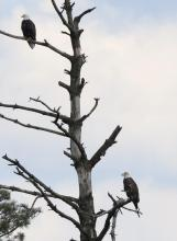 Bald eagles at the Sudbury Reservoir in Southborough, photographed by Steve Forman.