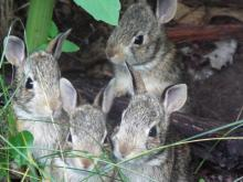 Cotton-tailed rabbits in Harvard, photographed by Robin Right.