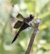 A widow skimmer at Breakneck Hill Conservation Land in Southborough, photographed by Steve Forman.