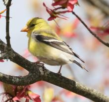 An American goldfinch in Natick, photographed by Steve Forman.