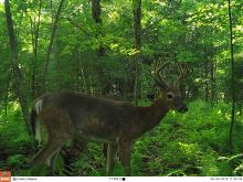 White-tailed deer in Stow, photographed with an automatically triggered wildlife camera by Steve Cumming.