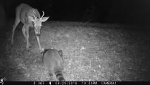 A white-tailed deer and a raccoon in Stow, photographed using an automatically triggered wildlife camera by Steve Cumming.