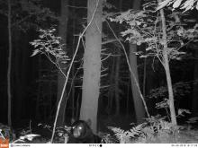 An American black bear in Stow, photographed using an automatically triggered wildlife camera by Steve Cumming.