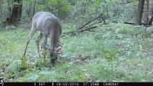 White-tailed deer in Stow, photographed using an automatically triggered wildlife camera by Steve Cumming.