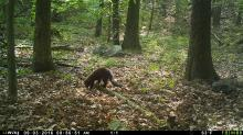 A fisher in Stow, photographed using an automatically triggered wildlife camera by Steve Cumming.