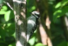 A downy woodpecker at Heard Farm in Wayland, photographed by Craig Smith.