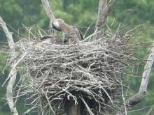 Great blue herons at a nest from SVT's Lyons-Cutler Reservation in Sudbury.