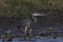 A great blue heron at Greenways Conservation Area in Wayland, photographed by Gail Sartori.
