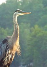 A great blue heron in Harvard, photographed by Robin Right.