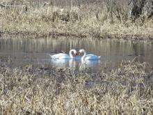 Mute swans on the Sudbury River in Sudbury, photographed by Lisa Eggleston.
