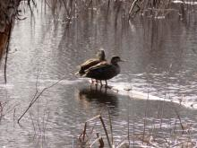 Black ducks on the Sudbury River in Sudbury, photographed by Lisa Eggleston.